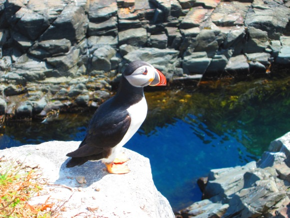 Elliston Puffin